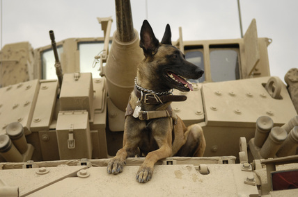 Vets Adopt Pets supports MILITARY WORKING DOGS — U.S. Air Force military working dog Jackson sits on a U.S. Vehicle before heading out on a mission.  DOD - MilitaryWorking Dogs unfortunately used to be euthanized after retired from military duty, but they are now adopted out.  In 2000 President Clintonsigned H.B. 5314 which allows Military Dogs to be adopted.  Usually these dogs are adopted by military folks as they already have a relationship with the dog.