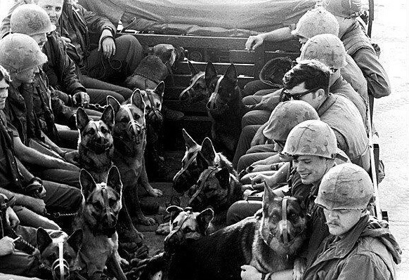 """Danang, Vietnam, 1969 Muzzled sentry dogs and their handlers ride in the back of a truck as they return from a patrol. R. A. Elder / Hulton Archive / Getty Images"""
